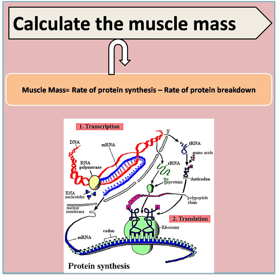 Rate of protein synthesis